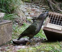 kea tipping traps sep 15